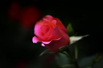 ורד - פרח האהבה